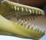 Wild Orca Skeleton