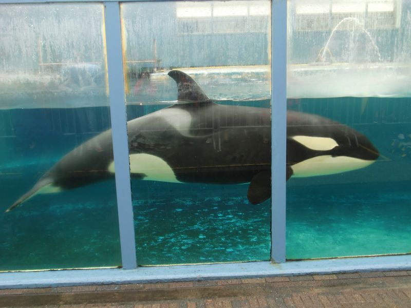 killer whales in captivity Killer whales, more properly known as orcas, have been kept in captivity since 1961, helpless victims of a blatantly commercial experiment which has seen dozens of wild orcas plucked from their families and forced to live in artificial social groupings which bear scant resemblance to their natural order.