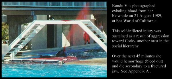 Kandu V Spouts Blood from from her blowhole on day of her death