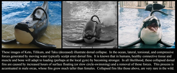 Keto, Tilikum and Taku's Dorsal Collapse