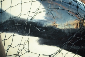 NMFS data on killer whale captures is grossly inadequate