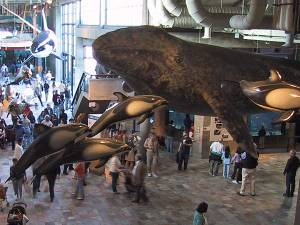 Life size models of marine mammals on display at the Monterey Bay Aquarium. Photo courtesy~ Nugatti WikiSpaces